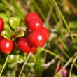 Cowberry — Stock Photo #21778293
