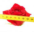 Rose and ruler on a white background  — Stock Photo