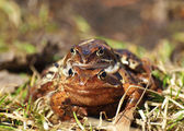 Two frogs on a grass in the spring — Stock fotografie