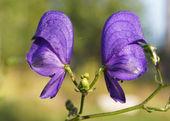 Monkshood (Aconitum napellus) flowers — Fotografia Stock
