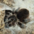 Tarantula spider - Stock Photo