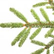 Spruce branch on a white background — Stock Photo