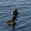 Tufted Duck - Stock Photo