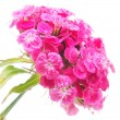 Stock Photo: Carnation on white background