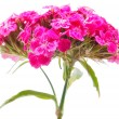 Carnation on white background - ストック写真