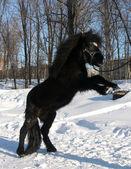 Black pony in the snow — Stock Photo