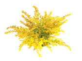 Blooming goldenrod plant isolated on white background — Stock Photo