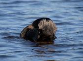 Tufted Duck unusual brush — Stock Photo