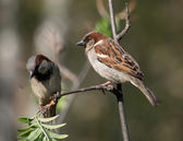 Sparrow — Stock Photo