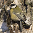 Tit on birch trunk — Stock Photo