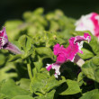 Stock Photo: Petunias