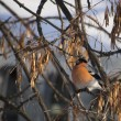 Bullfinch on branch — Stock Photo #29645467