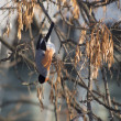 Bullfinch on branch — Stock Photo