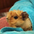 Guinea pig in a towel — Stock Photo