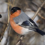 Bullfinch on branch — Stock Photo #29646649