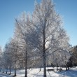 Birch in snow — Stock Photo #29647757
