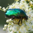 Chafer beetle on a flower — Stock Photo