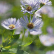Stock Photo: Perennial aster