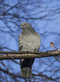 Pigeon on a birch — 图库照片