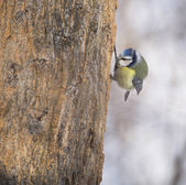 Cyanistes caeruleus on tree — Stockfoto