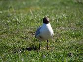 Mewa na trawie — Zdjęcie stockowe