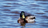 Mallard duck on the lake — Foto de Stock