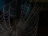 Web spider — Stock Photo