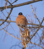 Bullfinch on branch — 图库照片