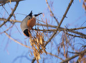 Bullfinch on branch — Stockfoto