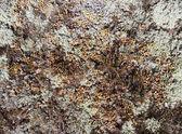 Lichen — ストック写真