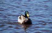 Mallard duck on the lake — 图库照片
