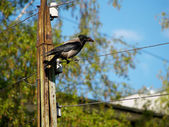 Crow on a wire — Stockfoto