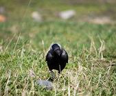 Kråka på gräset — Stockfoto
