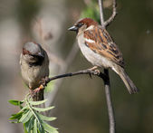Sparrows on a branch — Stockfoto