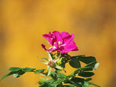 Dog rose (Rosa canina) flower — 图库照片