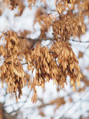 Ash seeds on branches in winter — Stock Photo