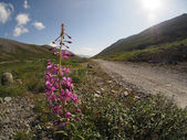 Fireweed flower in the mountains — Stok fotoğraf
