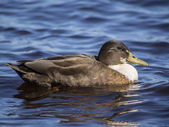 Duck on the lake — Stockfoto