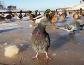 Pigeons in winter on the lake — Stock Photo