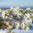 Spruce twig in the snow — Stock Photo