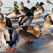 Stock Photo: Birds on lake in winter
