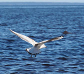 Flying seagull — Stock Photo