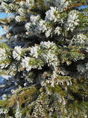 Sprigs of spruce in the snow — Stockfoto