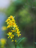 Goldenrod in the mountains — Stock Photo