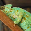 Green chameleon — Stock Photo #32237897