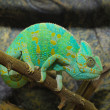 Stock Photo: Green chameleon