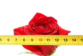 Rose and ruler — Stock Photo