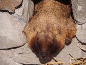 Portrait of a marmot — Stock Photo