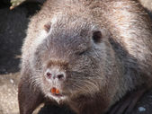 Portrait of a nutria — Stock Photo