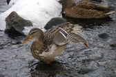 Ducks on the river in winter — Stock Photo
